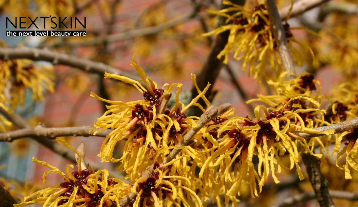 Hamamelis Virginiana extract